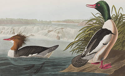 Duck Drawing - Goosander by John James Audubon