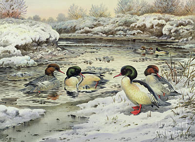 Harle Wall Art - Painting - Goosanders by Carl Donner