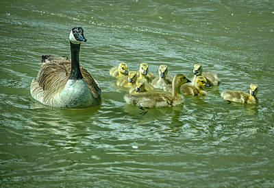 Photograph - Goose And Goslings by Rick Mosher