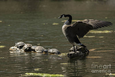 Photograph - Goose And Turtles by JT Lewis