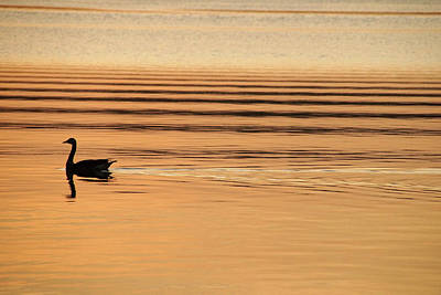Photograph - Goose And Water Ripples  by Mike Murdock