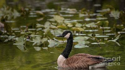 Photograph - Goose At Oradell by Jorge Perez - BlueBeardImagery