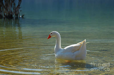 Photograph - Goose At The Lake by Antonis Androulakis