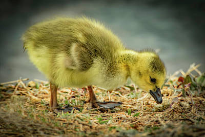 Photograph - Goose Baby by Ray Congrove