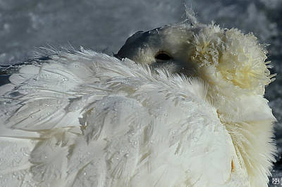 Photograph - Goose Down by John Meader