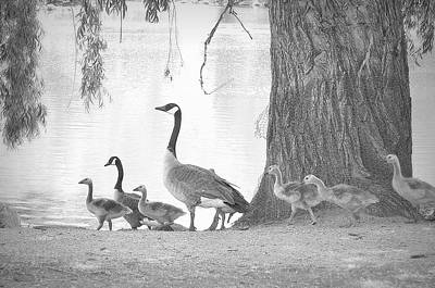 Photograph - Goose Family  by Clarice Lakota