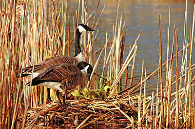 Photograph - Goose Family by Debbie Oppermann