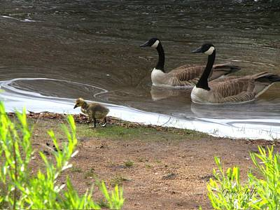 Photograph - Goose Family by George Tuffy