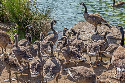 Photograph - Goose Family Gathering by Kate Brown