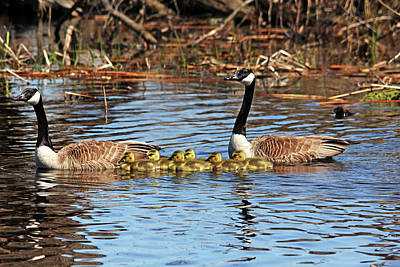 Photograph - Goose Family On The Pond by Debbie Oppermann