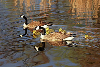 Photograph - Goose Family Outing by Debbie Oppermann