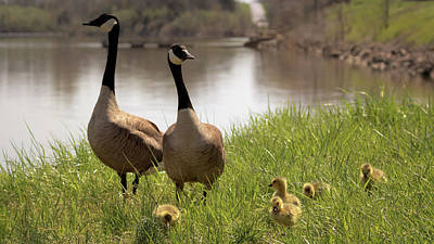 Photograph - Goose Family Outing  by Susan Rissi Tregoning
