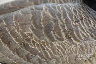 Photograph - Goose Feathers by Maria Urso