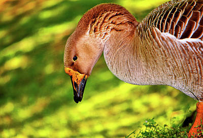 Photograph - Goose Feeding On The Grass 016 by George Bostian