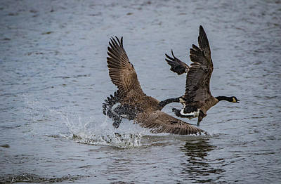 Photograph - Goose Fight by Ray Congrove