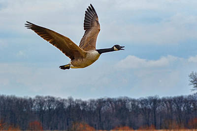 Photograph - Goose In Flight 2 by Ron Grafe