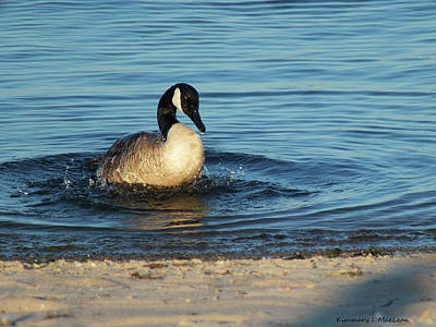 Photograph - Goose In The Chesapeake Bay by Kimmary I MacLean