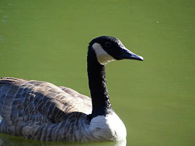 Photograph - Goose by Jamie Johnson