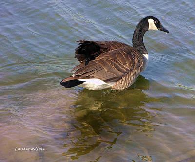 Photograph - Goose by John Lautermilch