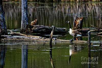 Photograph - Goose On A Log by Paul Mashburn