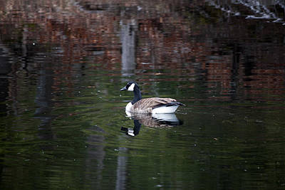 Goose On A Pond Art Print