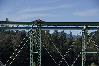 Photograph - Goose On An Osprey Nest by Mick Anderson
