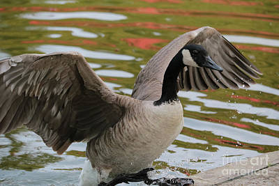 Wet On Wet Photograph - Goose Out Of Water by Carol Groenen