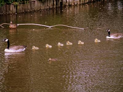 Photograph - Goose Parade by Michael Canning