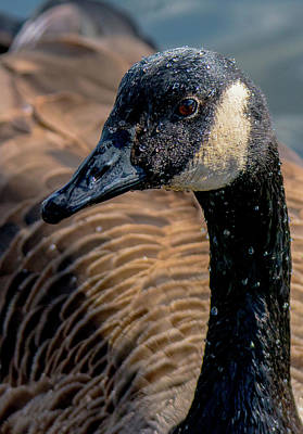 Photograph - Goose Poses For Portrait Close-up by Jeff at JSJ Photography