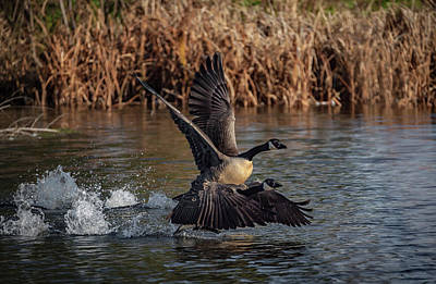 Photograph - Goose Race by Ray Congrove