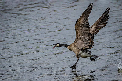 Photograph - Goose Step by Ray Congrove