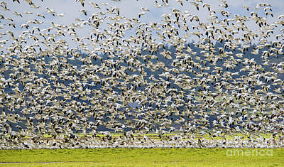 Skagit Photograph - Goose Storm by Mike Dawson