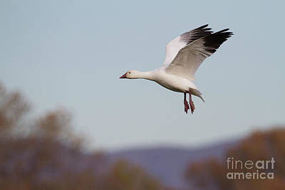 Photograph - Goose Wings Up  by Ruth Jolly