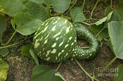 Cucurbitaceae Photograph - Gooseneck Gourd by Inga Spence