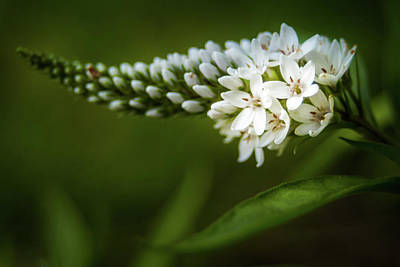 Gooseneck Loosestrife Photograph - Gooseneck Loosestrife by Jeanette Fellows