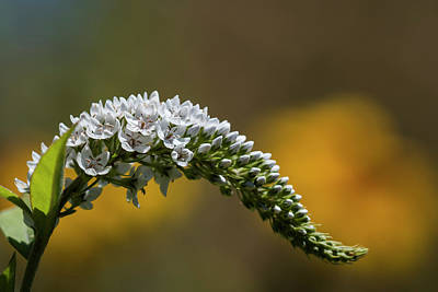 Gooseneck Loosestrife Photograph - Gooseneck Loosestrife by Robert Potts
