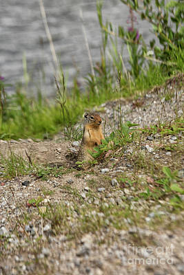 Photograph - Gopher In Close Up by Patricia Hofmeester