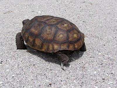 Photograph - Gopher Tortoise  000   by Chris Mercer