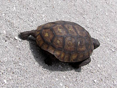 Photograph - Gopher Tortoise  003 by Chris Mercer