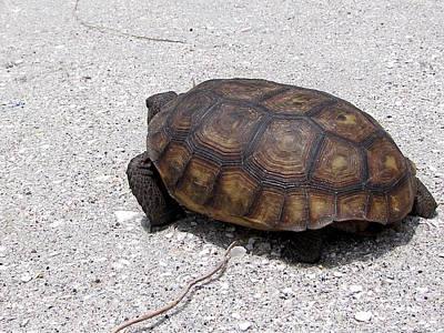 Photograph - Gopher Tortoise  004 by Chris Mercer