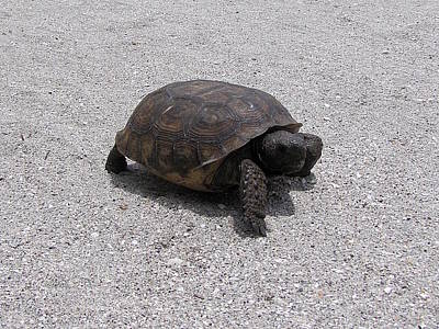 Photograph - Gopher Tortoise  by Chris Mercer