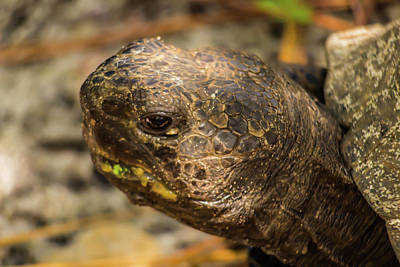 Photograph - Gopher Tortoise  by Patti Colston