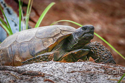 Photograph - Gopher Tortoise  Sand Mound by Tom Claud