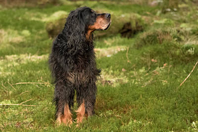 Gordon Setter In The Green Art Print
