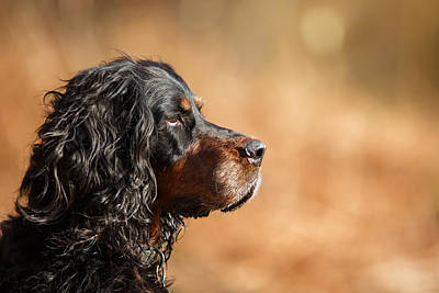 Gordon Setter Portrait Art Print