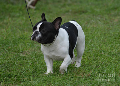 Adorable French Bulldog Puppy Photograph - Gorgeous Black And White French Bulldog by DejaVu Designs
