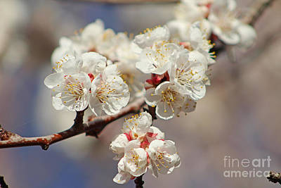Photograph - Gorgeous Edible Apricot Flowers by Dale Jackson