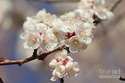 Photograph - Gorgeous Edible Apricot Flowers by Dale Jackson