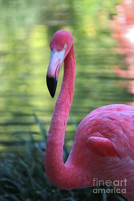 Photograph - Gorgeous Flamingo by Carol Groenen