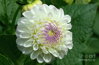 Photograph - Gorgeous Gaylen Rose Dahlia by Glenn Franco Simmons